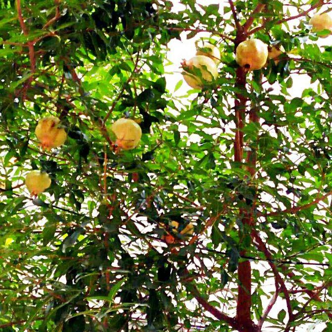 云南的果木树图