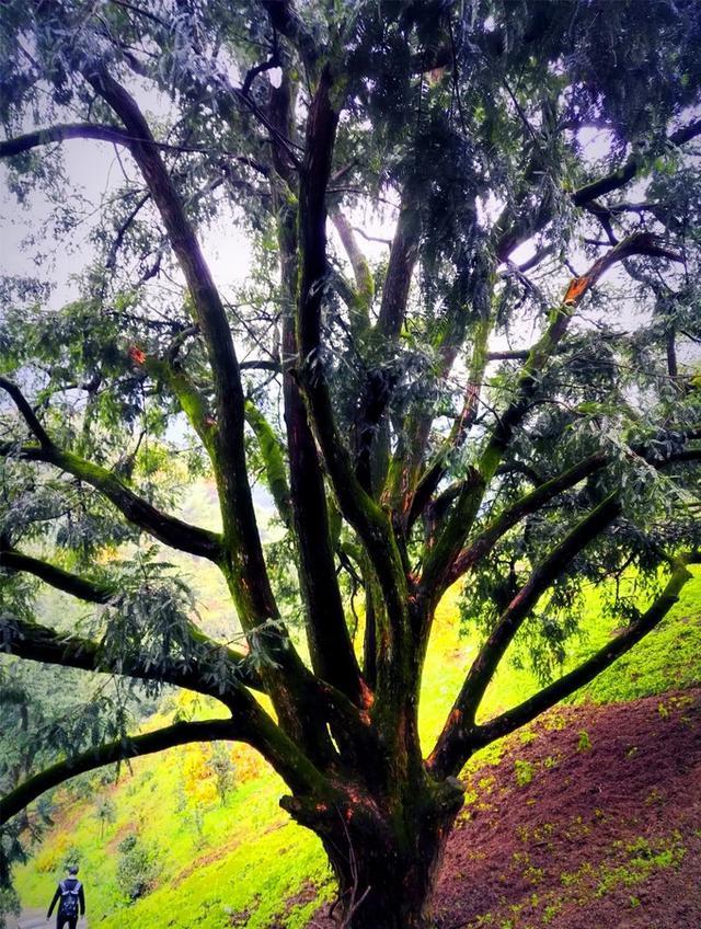 背包在浙旅剿榧,偶入千年古树林