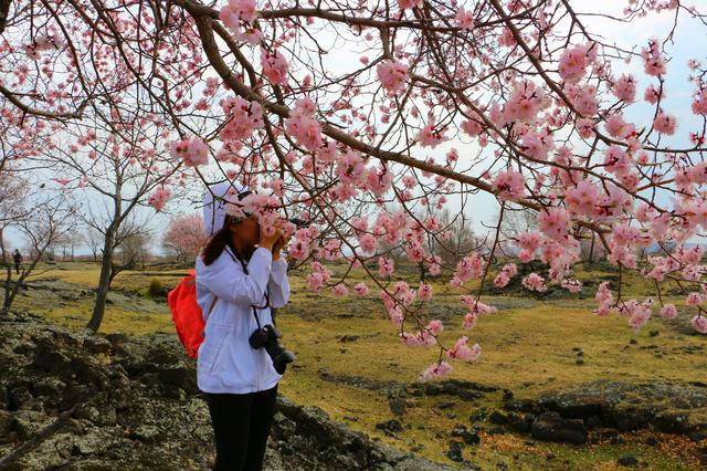 虽然北方的春天比南方相对晚一些,有些植被还在过渡期,但绽放的杏花就