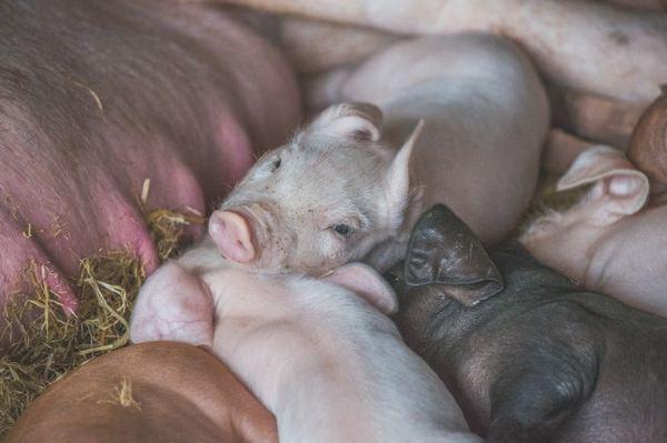 睡着的可爱的猪