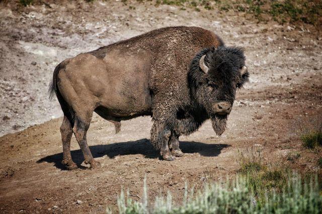 没有哪种动物比美洲野牛更能代表美国的历史