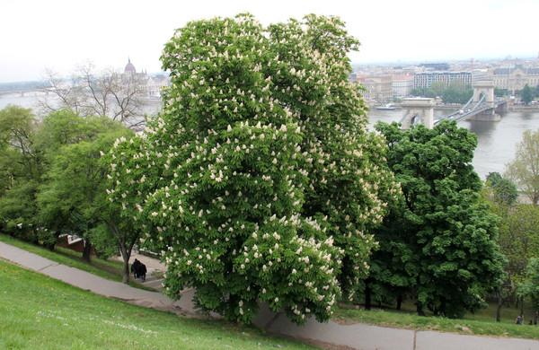 布达佩斯上的七叶树图片
