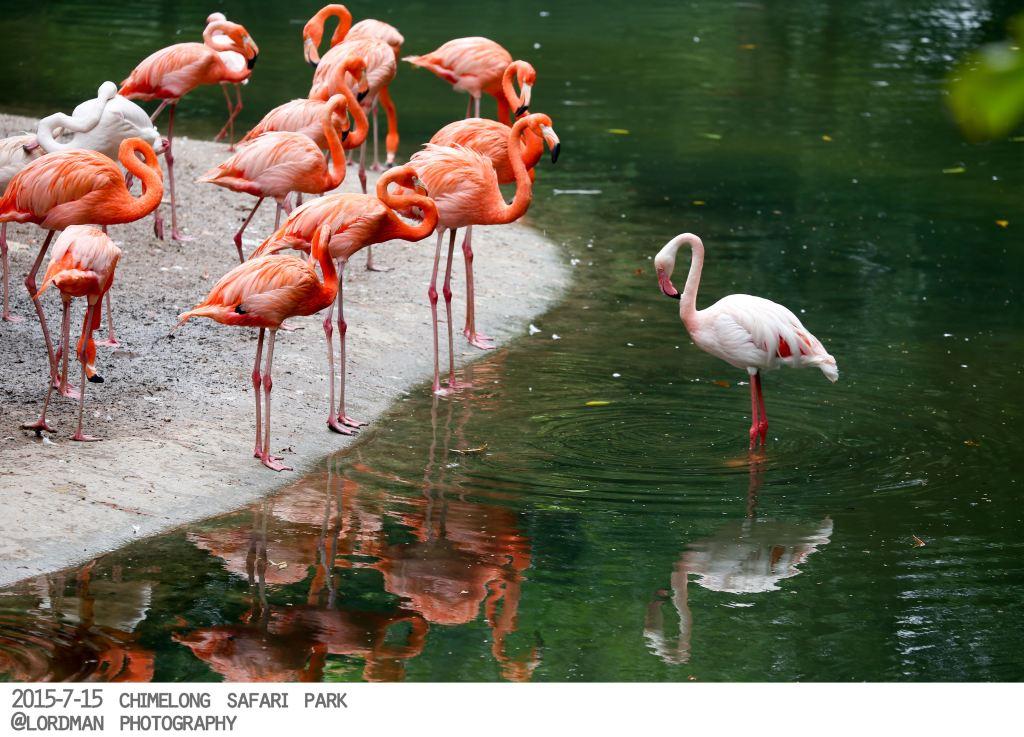 有全身火红色的古巴火烈鸟