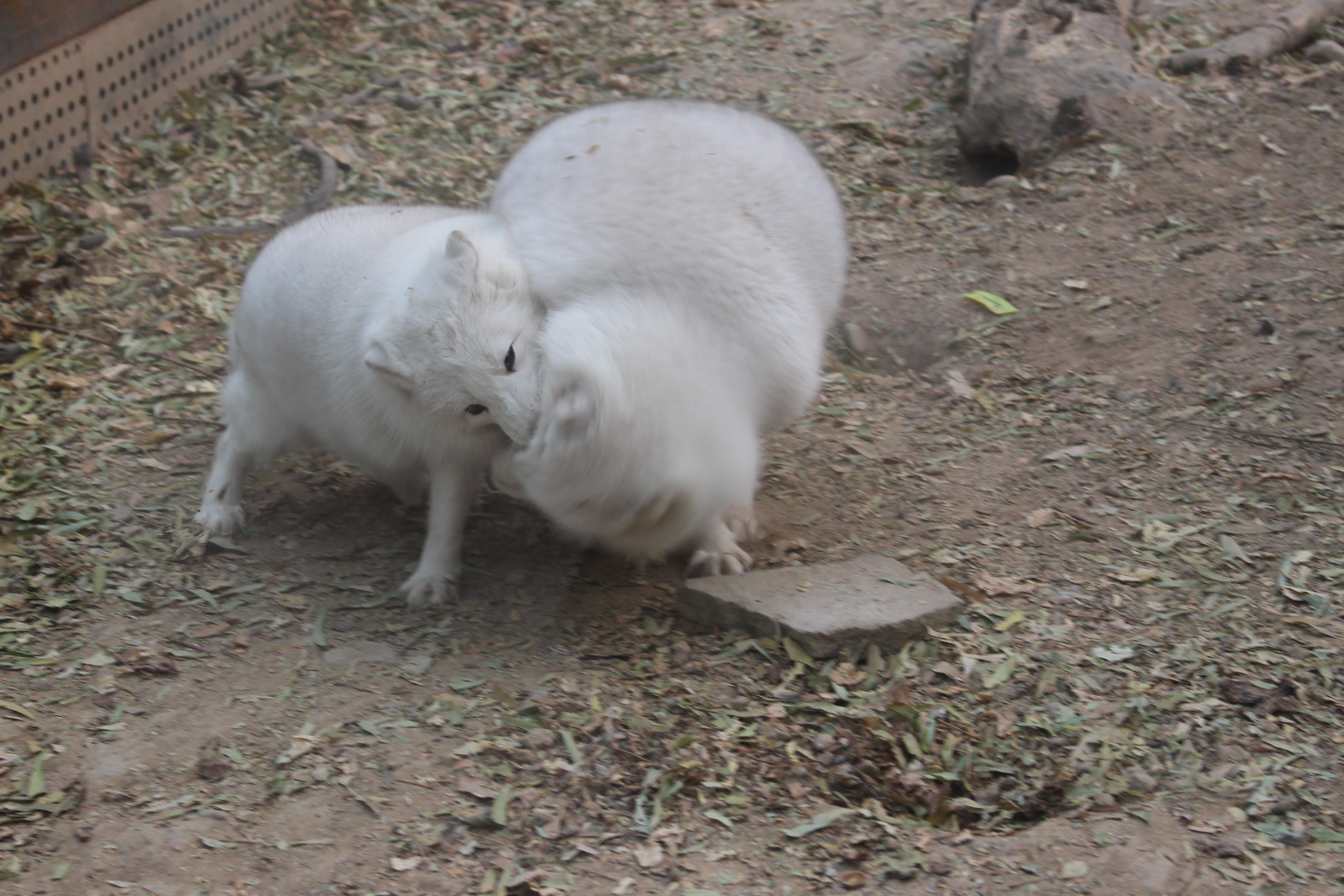 可爱的白狐 - 北京游记攻略【携程攻略】