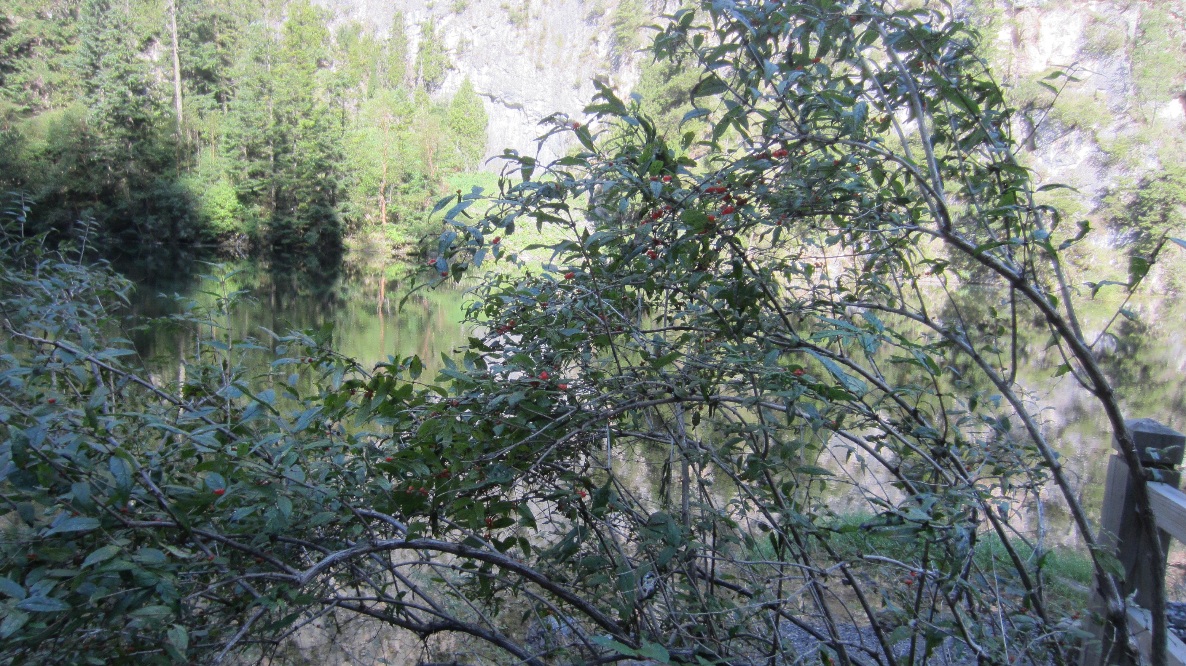 黄龙木树是什么样