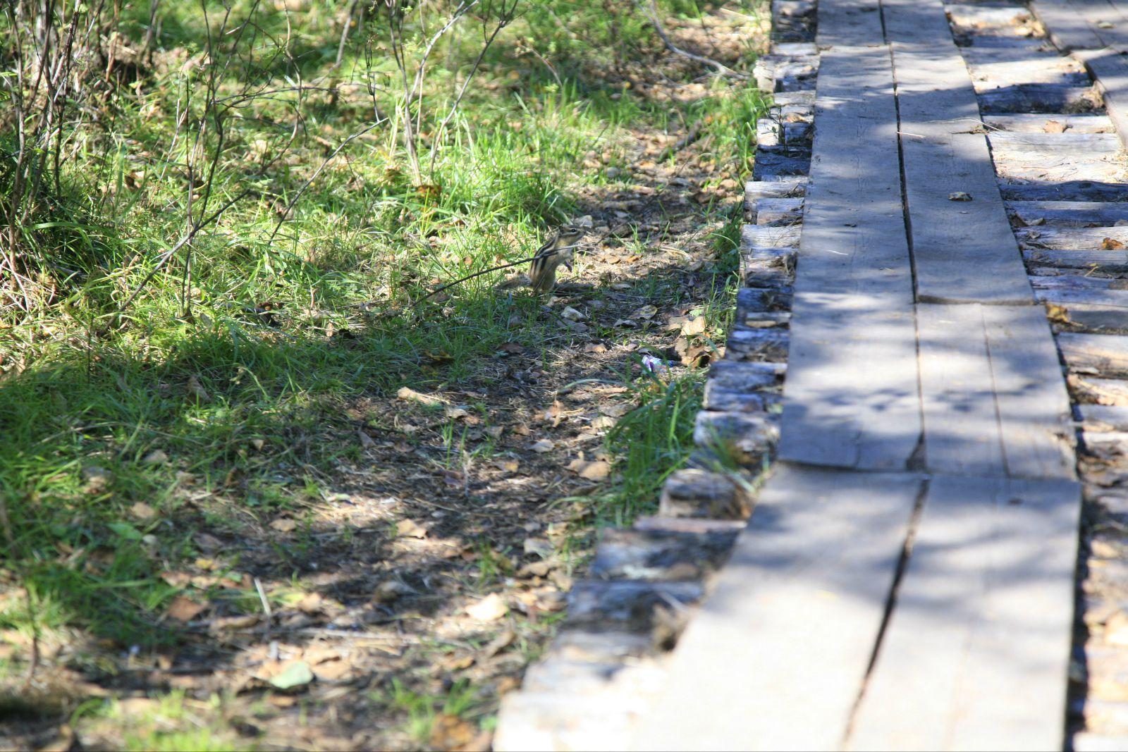 小道行车~一路上都是白桦树和落叶松交错着,时不时还窜出来只松鼠和