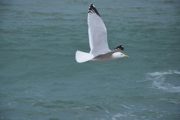 飞翔的海鸥可能才是合乎想象的海鸥,两翼张开,黑白灰三色铺张成一幅