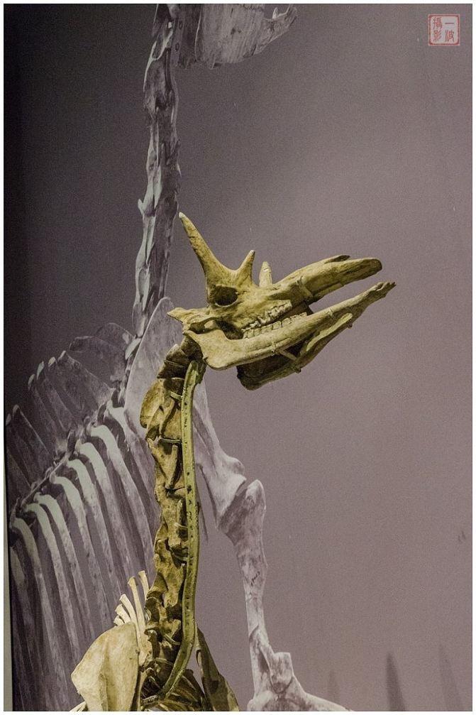 甘肃和政古动物化石博物馆是国家二级博物馆,成立于2003年,位于和政县城关镇梁家庄新村。和政古动物化石博物馆分三期建成,馆藏各类古动物化石30000多件,其中一级品50多件,二级品180多件,三级品350多件,以晚渐新世巨犀动物群、中中新世铲齿象动物群、晚中新世三趾马动物群和早更新世真马动物群最为丰富,分别埋藏于四种岩性不同的地质层中。   让和政古动物化石博物馆引以为豪的,是馆藏有世界上最完整的铲齿象化石、最丰富的三趾马化石群、独一无二的和政羊化石、最大的巨鬣狗化石、最大的真马埃氏马化石以及最早的