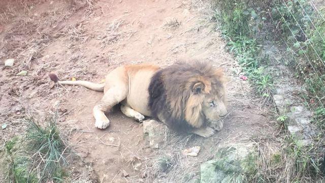 动物 狗 狗狗 狮子