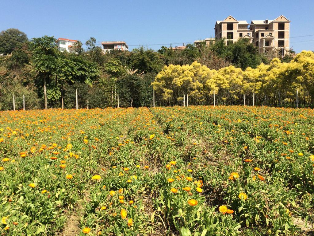灯塔公园 靠近五通码头 油菜花 摄于2月25日 厦门岛外: 同安前格村百