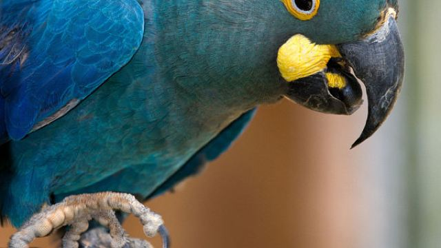 金刚鹦鹉等珍稀动物,比如鸟类里阿拉拉(长尾小鹦鹉)