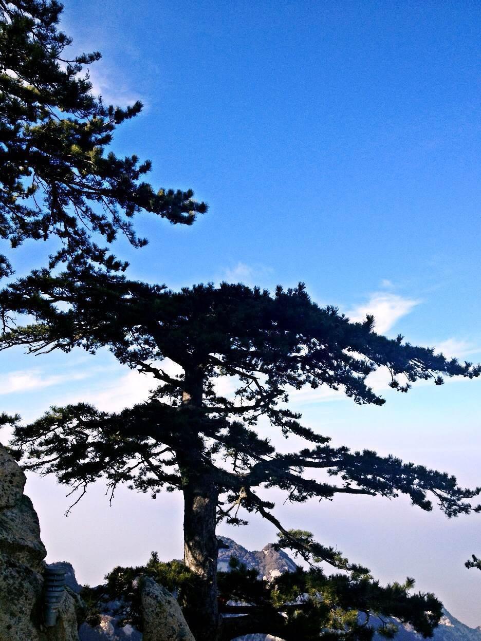 壁纸 风景 树 松 松树 936_1248 竖版 竖屏 手机