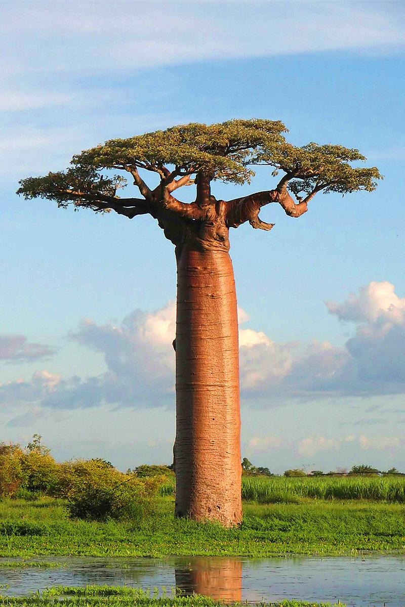 猴面包树大道  Avenue of the Baobabs   -2
