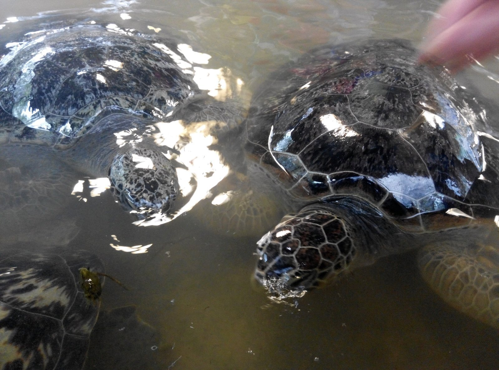 巨型海龟,让人想起西游记里驮着师徒四人过通天河的神龟.