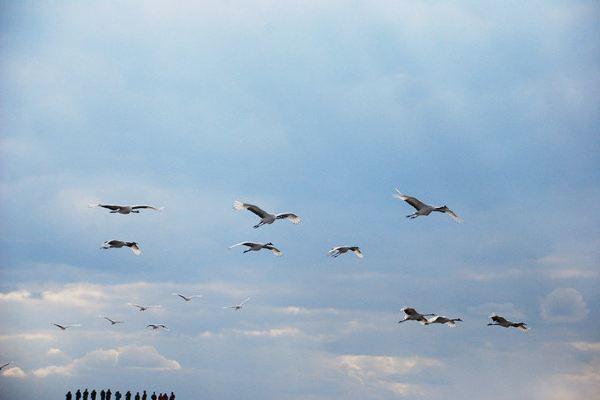 扎龙自然保护区  开始啦!飞翔吧,丹顶鹤们!