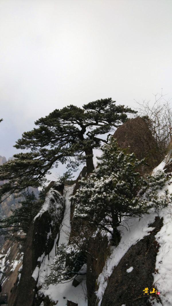 黄山有名松树之一——送客松