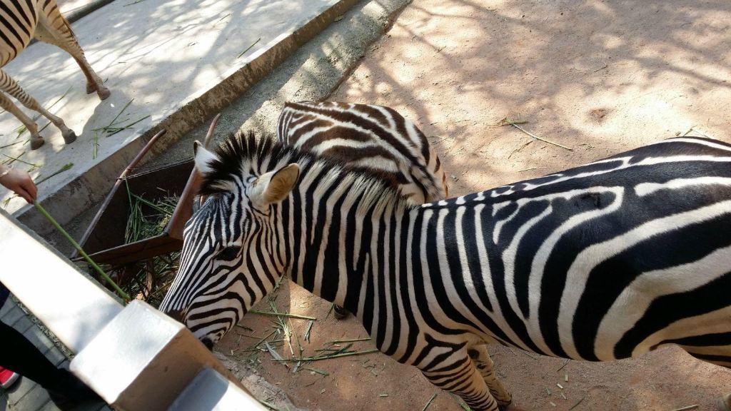 这是我在动物园看见的斑马