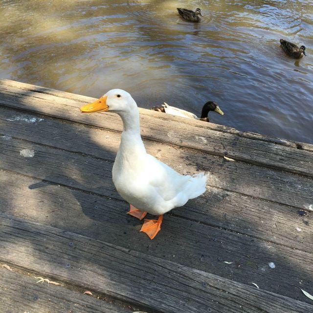 大白鹅和鸭子们 好可爱