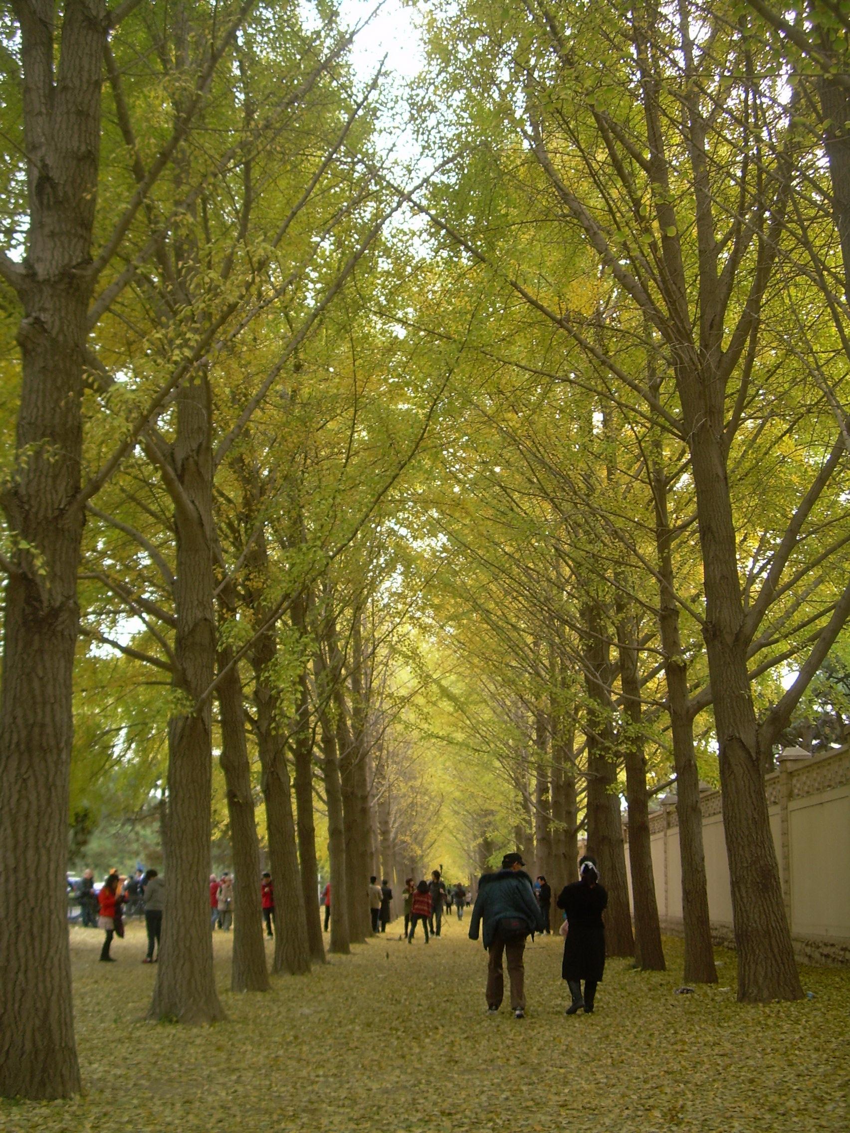 秋天的银杏大道