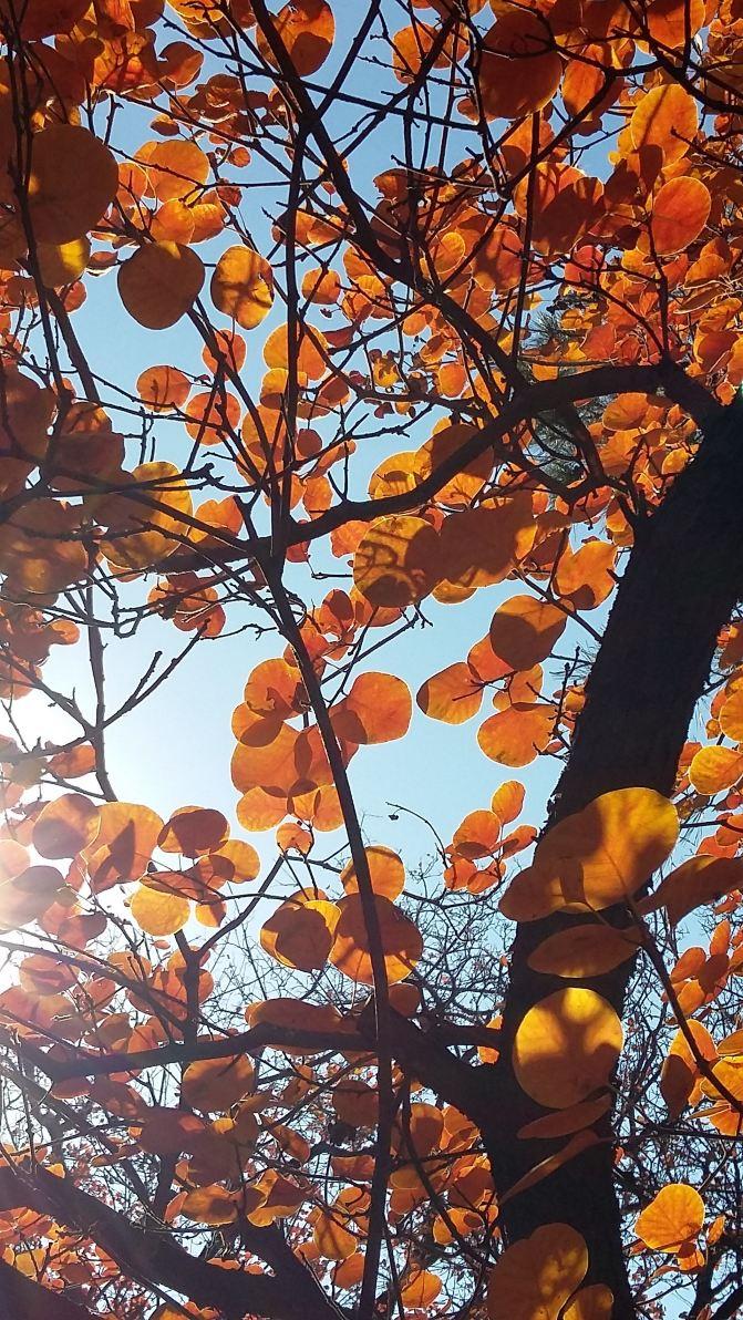 香山黄栌非枫树 红叶枫叶不同叶