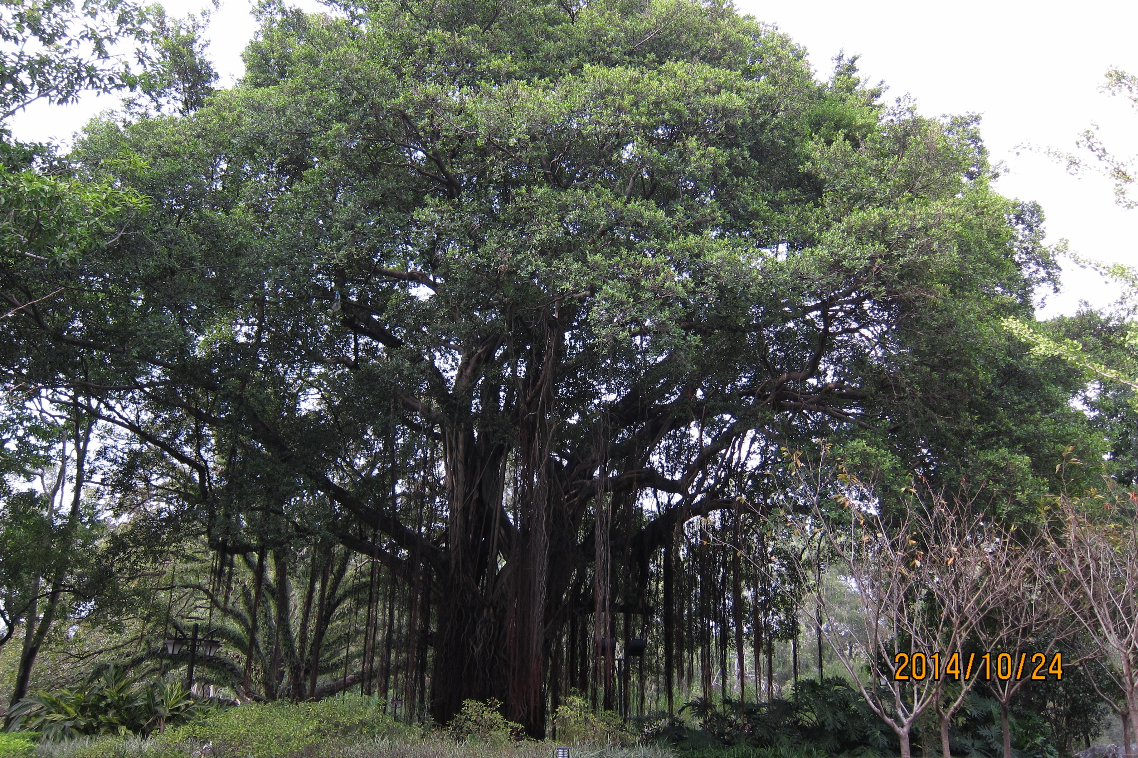 福州到处有这样的榕树