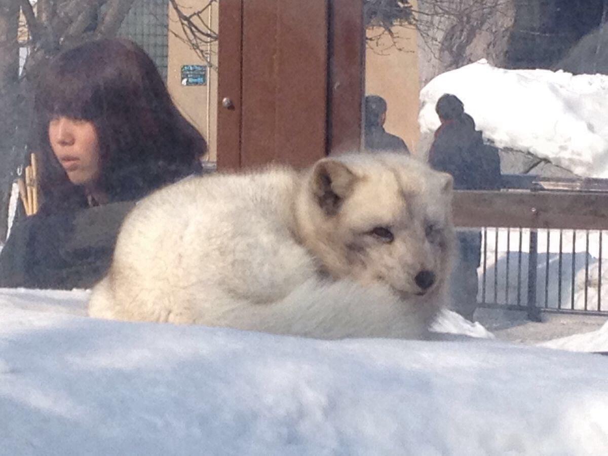 可爱的雪狐,总是把脑袋藏在身体里睡觉,终于逮到你醒过来的时候啦