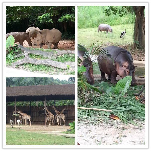 广州动物园 考拉