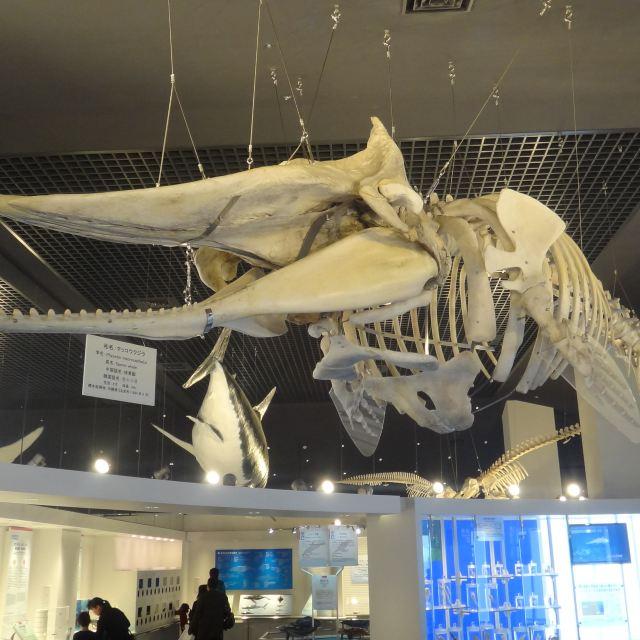 抹香鲸骨骼标本