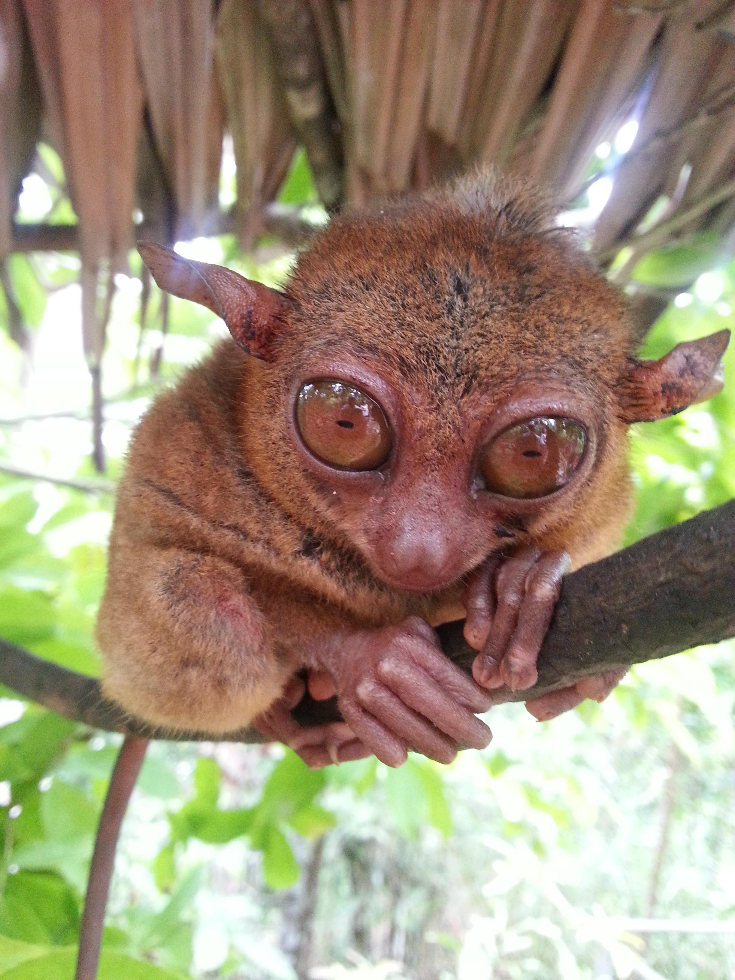 眼镜猴好迷你一只,动作很慢,眼睛好大.