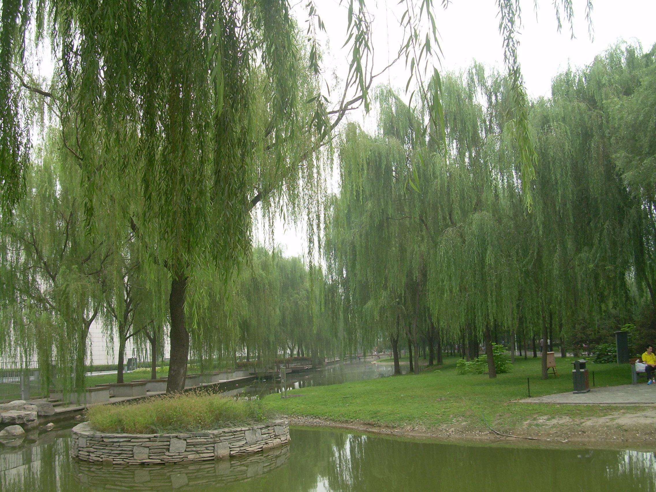 壁纸 垂柳 电脑 风景 风景壁纸 柳树 摄影 树 桌面 2272_1704