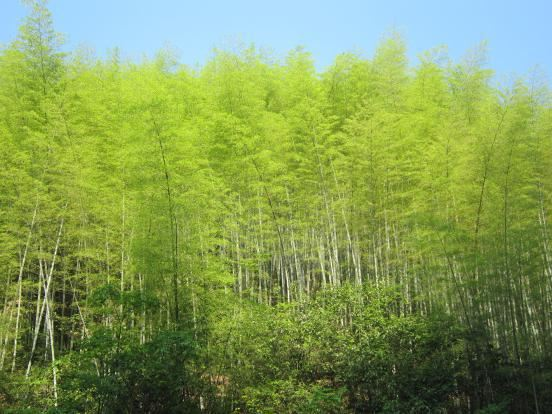 竹林,很漂亮哦.图片