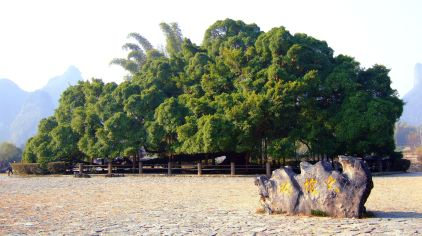 大榕树 (2)