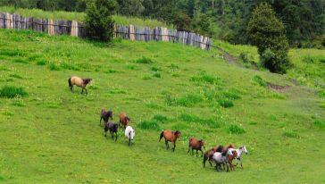 鲁朗花海:牧场中的马群