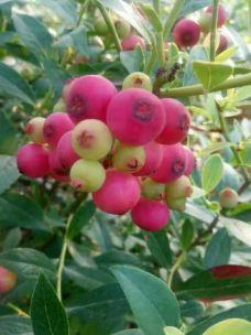 高山蓝莓庄园-嵩明-_WeCh****120514
