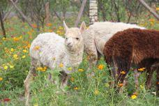 羊驼展区-南通-AIian