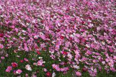 天适樱花悠乐园-从化区-doris圈圈
