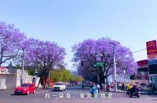 西昌游记之蓝花楹