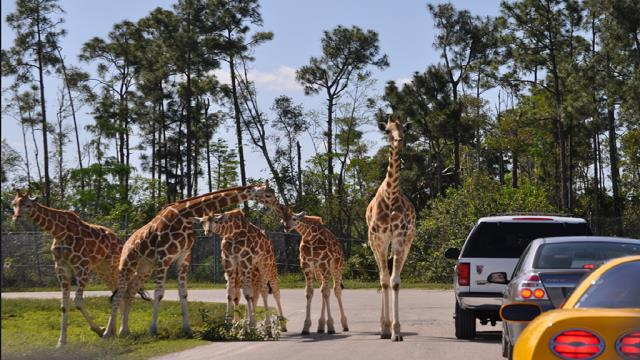 Lion Country Safari+Palm Beach+Outlet 1-Day Tour from Miami