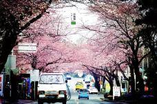 樱花大道-济州岛-139****4253